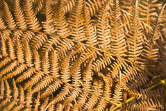 Dry yellow fern leaves Royalty Free Stock Photos