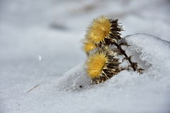 Dry yellow flower in the snow. Lat. Carlina Vulgaris - Dry yellow flower in the snow stock images