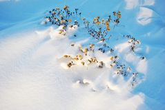 Dry yellow fluffy flowers on meadow with white snow royalty free stock images
