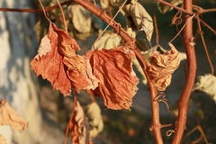 Dry Yellow grape leaves hanging on a branch.  Royalty Free Stock Images