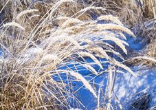 Dry yellow grass covered with hoarfrost. Frosty weather. Dry yellow grass covered with hoarfrost. Winter landscape nature in the village. Frosty weather stock photos
