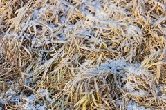 Dry yellow grass covered with ice snow crystals cold frosty background close-up. Grass covered with ice snow crystals cold frosty background close-up royalty free stock image