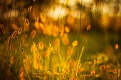 Dry Yellow Grass Meadow In Sunset Sunrise Sunlight Royalty Free Stock Photography