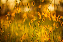 Dry Yellow Grass Meadow In Sunset Sunrise Sunlight. Autumn grass and wildflower background Stock Photo