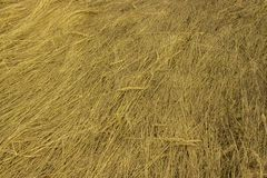Dry yellow grass with spikes, background texture structure pattern. Field with dried grass hay straw in nature. Drooping grass spreading on the ground, autumn royalty free stock photography