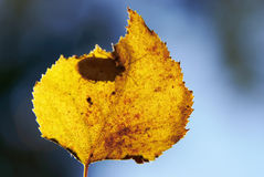 Dry yellow leaf Stock Image