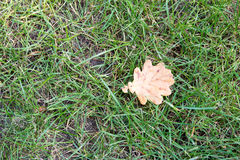 Dry yellow leaf fell on the green grass. Royalty Free Stock Photography
