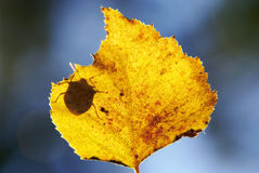 Dry yellow leaf insect shadow Stock Image