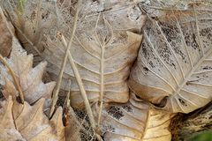 Dry yellow leaf on tree trunk photo. Dry season or dehydration concept. Drying leaf structure with veins. Autumn leaf closeup. Brown yellow foliage of old tree stock photography
