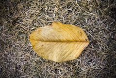 Dry yellow leaves on the dry grass royalty free stock image