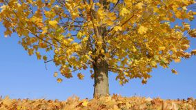 Dry yellow leaves on maple tree float in wind 4K stock video