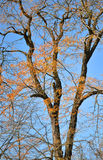 Dry yellow leaves on a tree against a blue cloudle Stock Photo