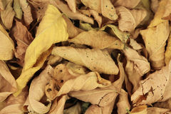 Dry yellow leaves of trees background Royalty Free Stock Photos