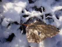 Dry yellow leaves under the snow. Lighted by the bright winter sun royalty free stock photo