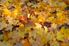 Dry yellow maple leaves on ground Stock Photography