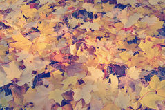 Dry yellow maple leaves on the ground with Instagram style filte Royalty Free Stock Photo