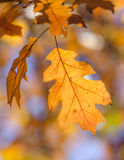 Dry yellow oaken leaves on a branch. End of autumn season Stock Photo