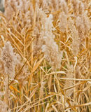 Dry yellow reed Royalty Free Stock Photography