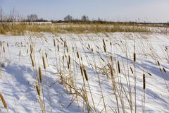 Dry yellow reed in white snow against the backdrop of the winter forest