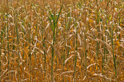 Dry yellow stalks of corn closeup at sunny summer day Stock Photography