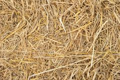 Dry yellow straw grass background texture closeup wallpaper. stock image
