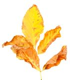 Dry yellowed autumn leaf Royalty Free Stock Photo