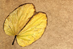 Dry Yellowing Camels Foot Leaf on Brown Wood Background Royalty Free Stock Photography