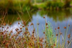 Drya tall grass in forest royalty free stock images