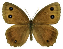 Isolated Dryad butterfly stock photo