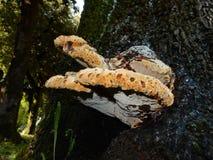 Dryadeus Inonotus Стоковая Фотография