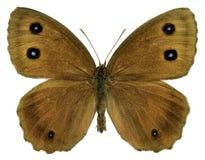 Isolerad Dryadfjäril Arkivfoto
