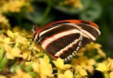 Dryadula phaetusa Butterfly. Brown, cream and orange Dryadula phaetusa Butterfly stock image