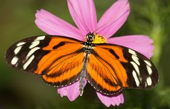 Dryadula phaetusa butterfly. Eating on a purple flower Stock Photography