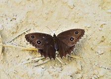 Dryas или дриада Minois Стоковое фото RF