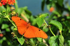 Dryas iulia butterfly stock images