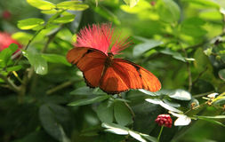 Dryas Iulia Butterfly Stock Foto's