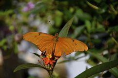 Dryas iulia, commonly called the Julia Butterfly, Julia Heliconian, Stock Photography