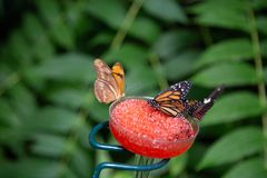 Dryas iulia, Heliconius and monarch butterflies in a feeding station. Dryas iulia butterfly otherwise known as the flame along with the monarch and the stock images