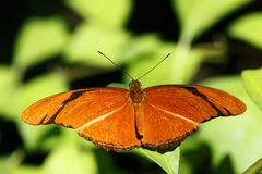 Dryas iulia or julia butterfly Royalty Free Stock Photos