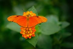 Dryas iulia, Spelled julia heliconian, in nature habitat. Nice insect from Costa Rica in the green forest. Orange butterfly sittin. G on the green leave from stock image