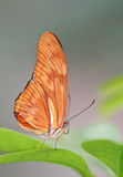 Dryas Julia Butterfly. On the green plant leaf stock photography