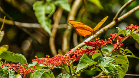 Dryas Julia. Julia Butterfly (Dryas Julia), Arenal Volcano National Park, Costa Rica Royalty Free Stock Photo