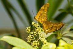 Dryas Julia Butterfly Bookends Fotografering för Bildbyråer