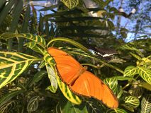 Dryas Julia Butterfly på gröna sidor arkivfoton