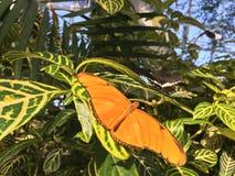 Dryas Julia Butterfly sulle foglie verdi fotografia stock
