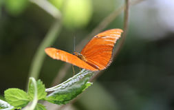 Dryas julia. Sitting on a leaf  Foto taken in blijdorp zoo in Rotterdam, Netherlands Stock Image