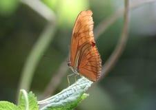 Dryas julia. Sitting on a leaf  Foto taken in blijdorp zoo in Rotterdam, Netherlands Stock Images