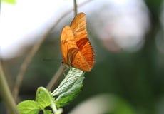Dryas julia. Sitting on a leaf  Foto taken in blijdorp zoo in Rotterdam, Netherlands Royalty Free Stock Photos