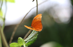 Dryas julia. Sitting on a leaf  Foto taken in blijdorp zoo in Rotterdam, Netherlands Royalty Free Stock Photography