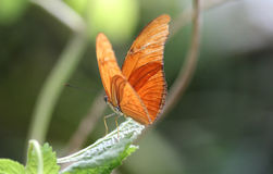 Dryas julia Stock Photo